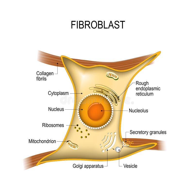 Фиброцит жизненно важен к прочности и упругости ` s кожи Struc иллюстрация вектора