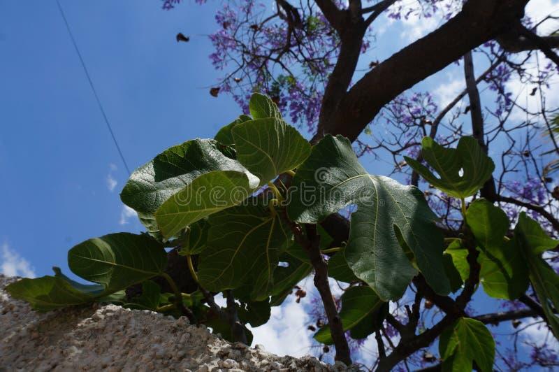 Фиговые листки на фиолетовом дереве цветений и предпосылке голубого неба стоковое изображение rf