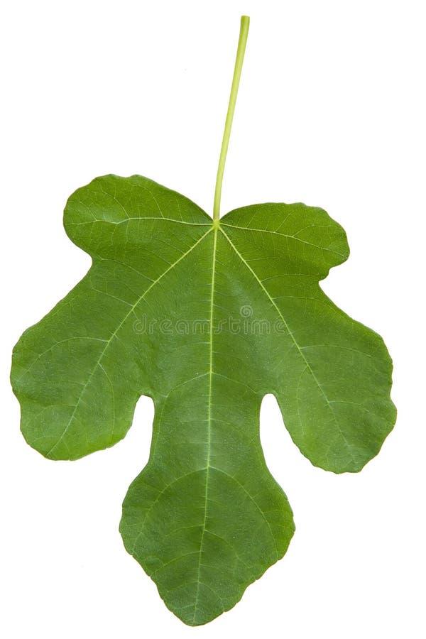 Фиговый листок стоковое фото