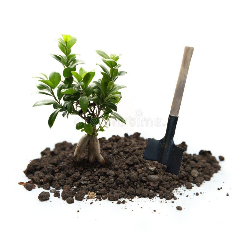 Фикус с почвой и лопаткоулавливателем стоковые фото