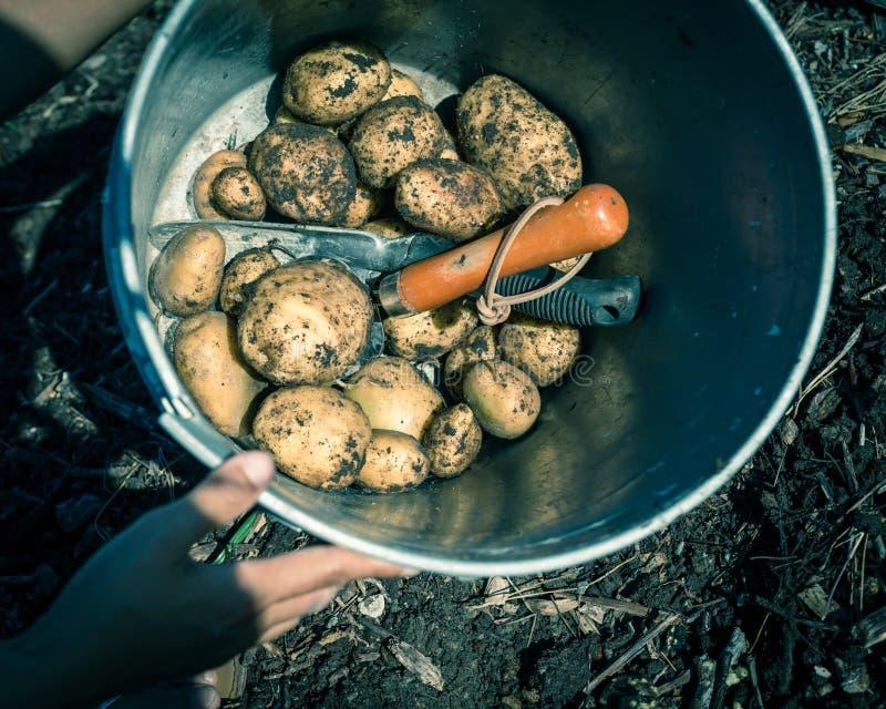 Фильтрованная куча изображения сырцовых всех картошек в ведре металла около поднятого сада кровати стоковые изображения rf
