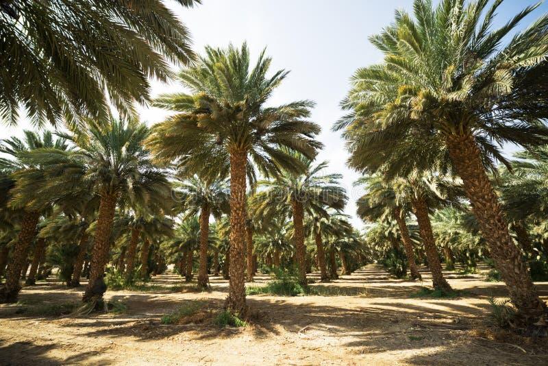 Финиковые пальмы в африканском оазисе стоковая фотография rf