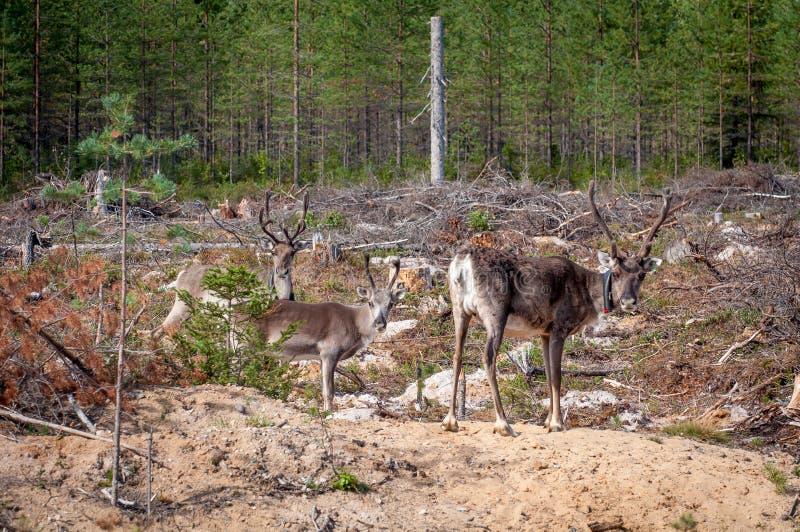 Финляндия Олени с GPS-воротником Маяк GPS использован для регистрации и информации о местоположении оленей стоковые фото