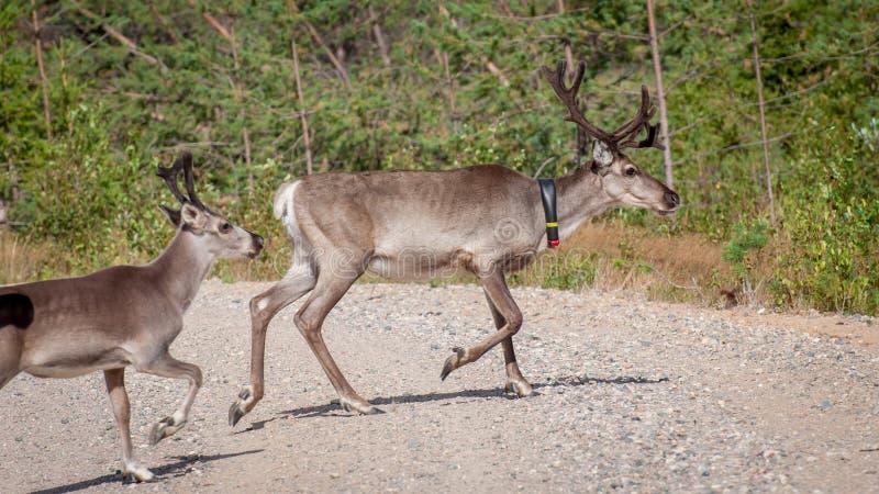 Финляндия Олени с GPS-воротником Маяк GPS использован для регистрации и информации о местоположении оленей стоковые фотографии rf