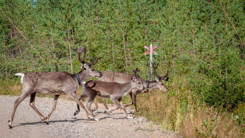 Финляндия Олени с GPS-воротником Маяк GPS использован для регистрации и информации о местоположении оленей стоковое изображение rf