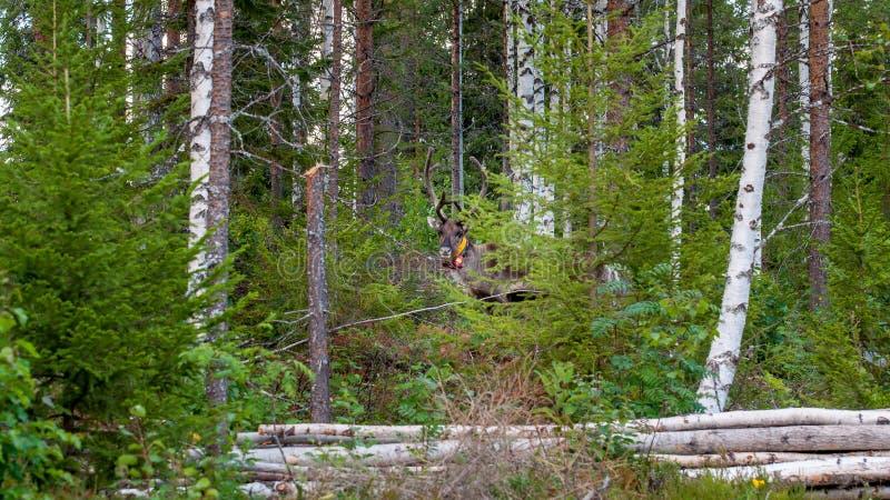 Финляндия Олени с GPS-воротником Маяк GPS использован для регистрации и информации о местоположении оленей стоковая фотография