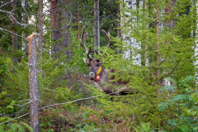 Финляндия Олени с GPS-воротником Маяк GPS использован для регистрации и информации о местоположении оленей стоковые изображения