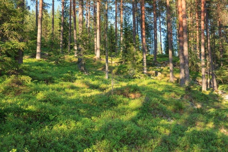 Финский лес на лете стоковые фотографии rf