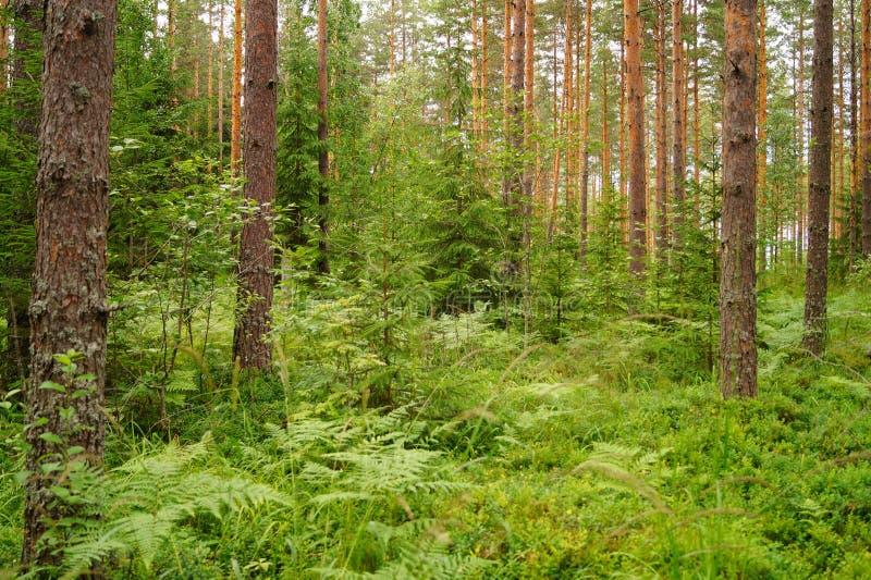 Финский лес в лете стоковая фотография