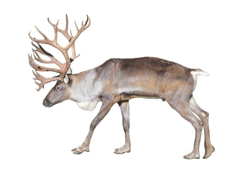 Финский северный олень леса изолированный на белой предпосылке стоковые фотографии rf