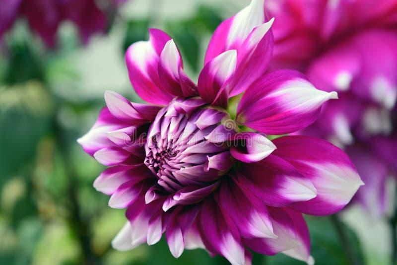 Фиолетовая белизна георгина наклоняет цветок стоковые изображения