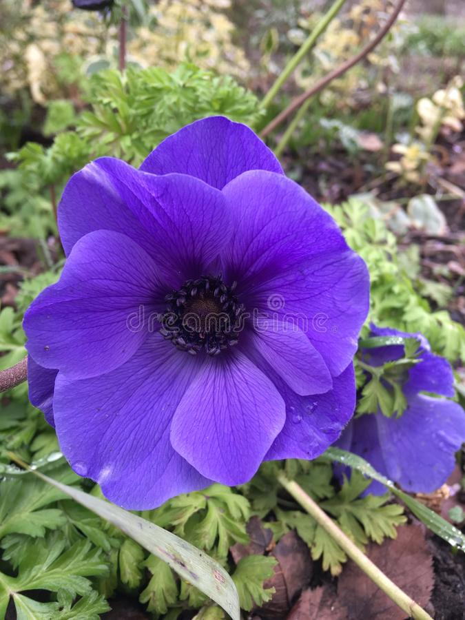 Фиолетовая ветреница стоковая фотография rf
