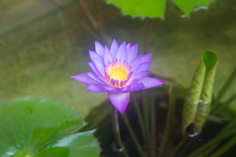 Фиолетовая лилия воды в пруде стоковое фото rf