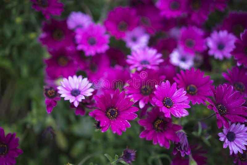 Фиолетовая маргаритка стоковая фотография rf
