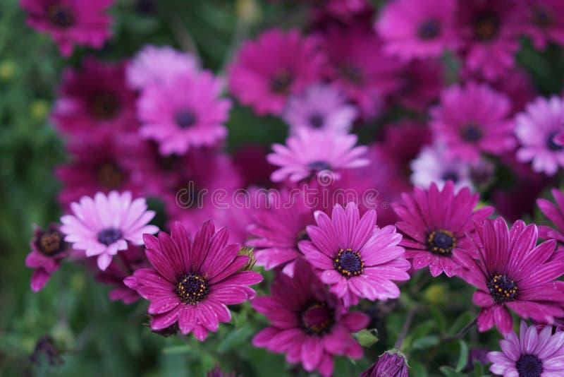 Фиолетовая маргаритка стоковое изображение rf
