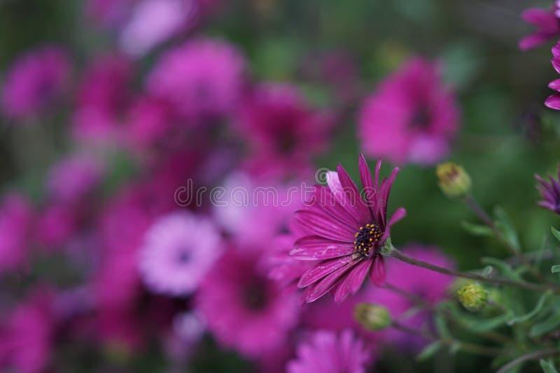 Фиолетовая маргаритка стоковые изображения