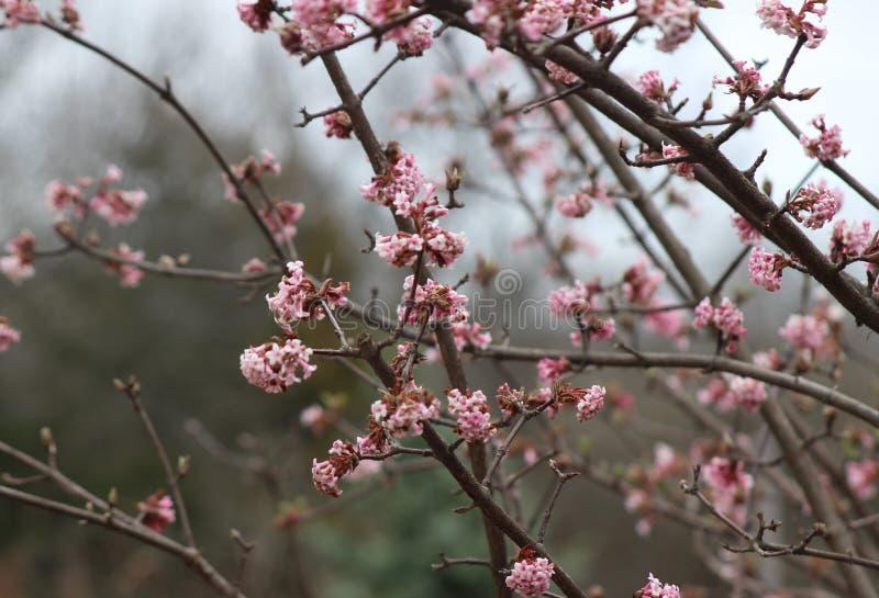 Фиолетовая слива зацветает весной стоковая фотография