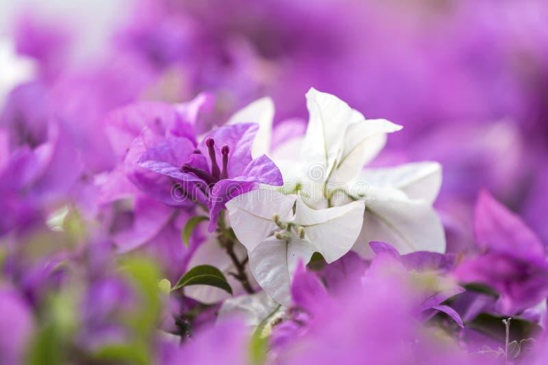 Фиолетовое и белое tabebuia на парке Benchakitti стоковое изображение