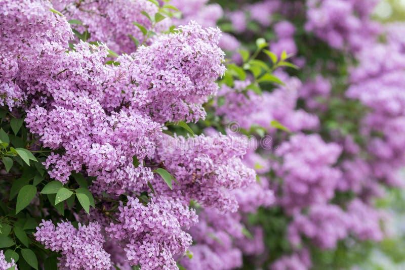 Фиолетовое растущее цветков на кустарнике сирени зацветая в парке стоковые изображения rf