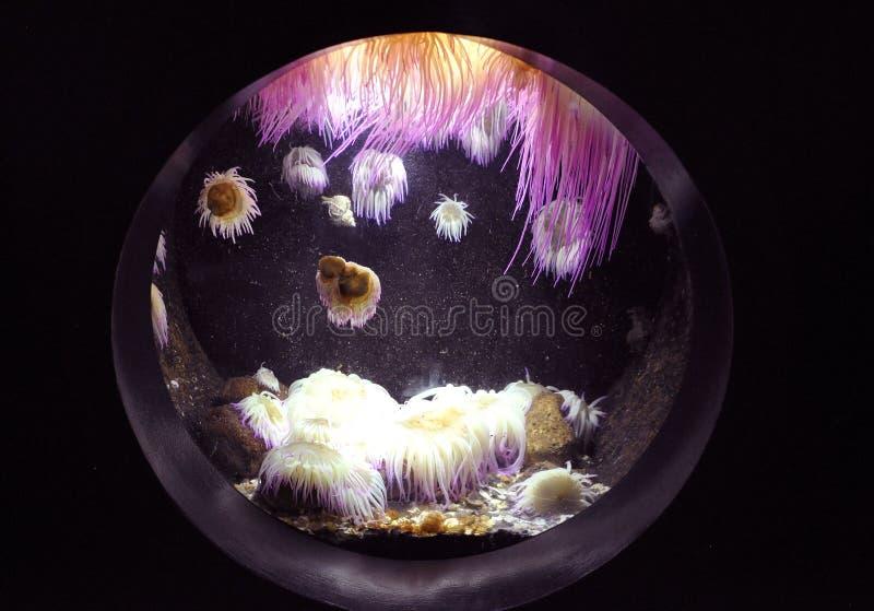 Фиолетовое Anemonas подводное в аквариуме от Крита стоковое фото