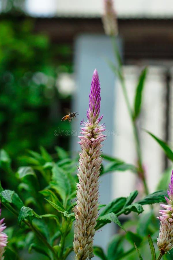 Фиолетовое argentea Celosia с пчелой летания на стороне дороги стоковая фотография rf