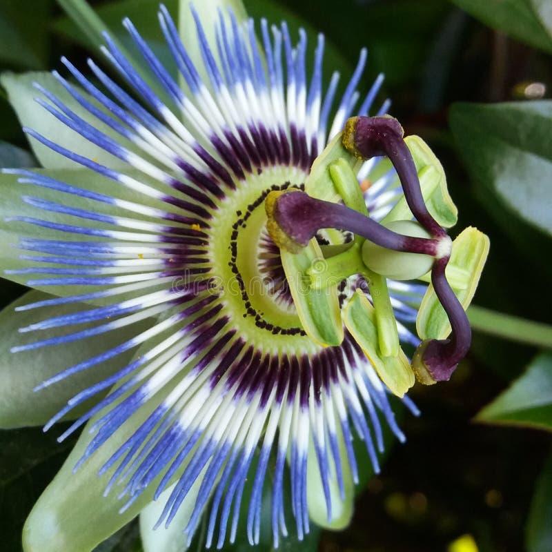 Фиолетовое caerulea пассифлоры цветка страсти стоковые фотографии rf