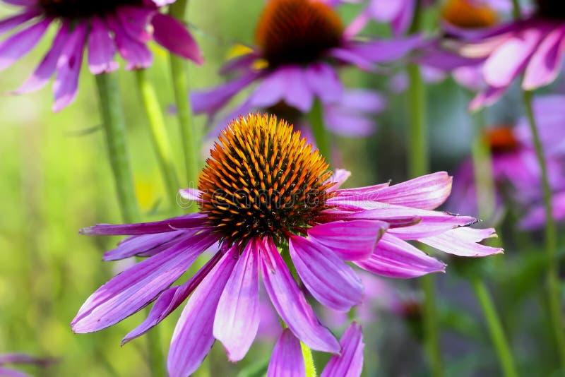 Фиолетовое coneflower, purpurea эхинацеи, цветение, Бавария, Германия, Европа стоковые изображения rf