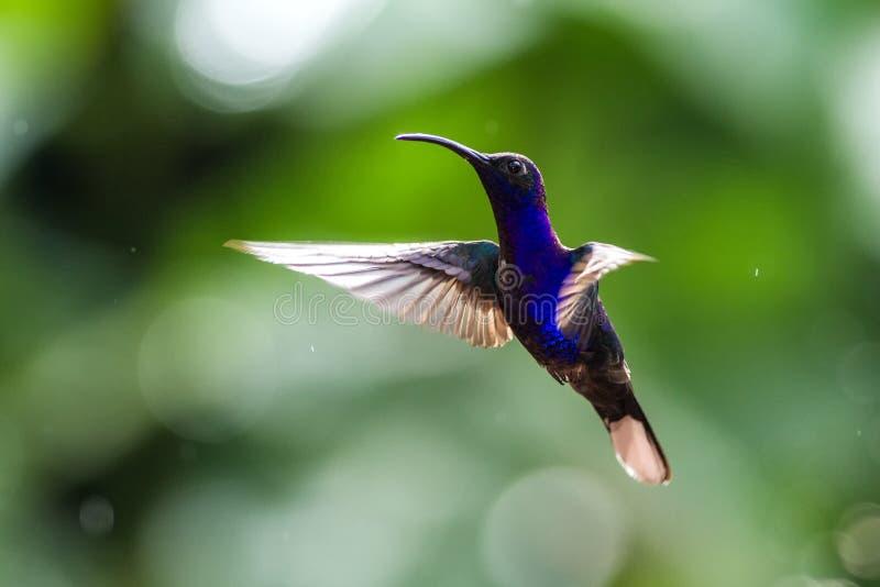 Фиолетовое hemileucurus Sabrewing Campylopterus, завиша в воздухе, сад, лес горы тропический, Коста-Рика стоковая фотография rf