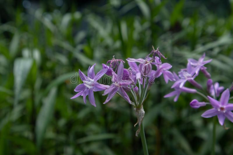 Фиолетовое violacea цветка-Tulbaghia стоковая фотография