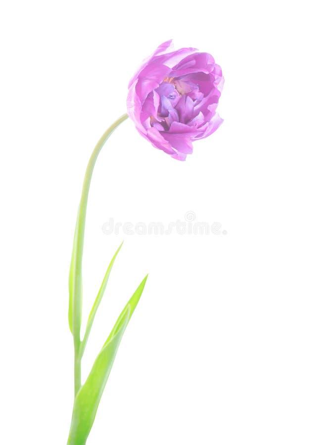 Фиолетовые фиолетовые изолированные листья зеленого цвета flowerwith тюльпана стоковое изображение rf