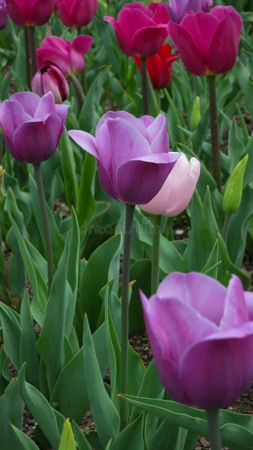 Фиолетовые и розовые тюльпаны в саде стоковые фотографии rf