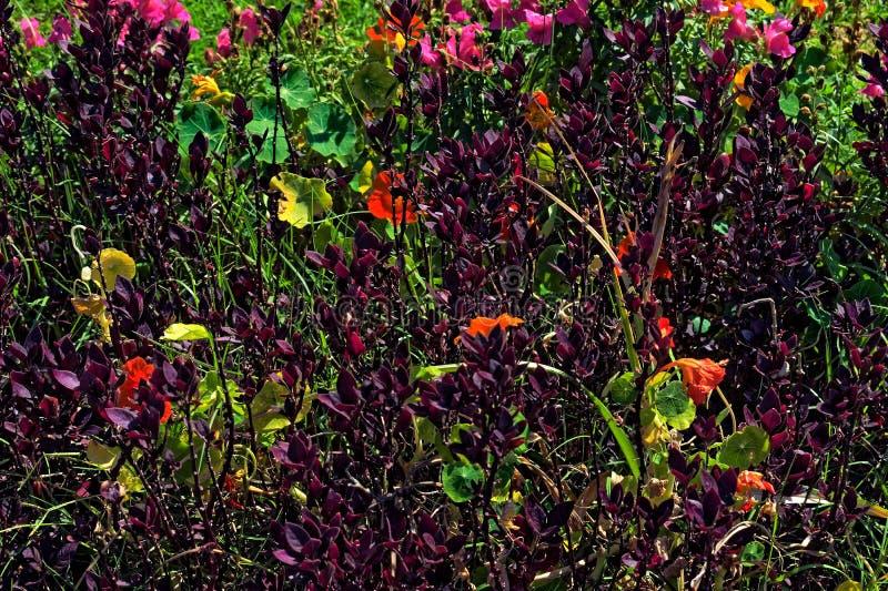 Фиолетовые кусты с оранжевыми цветками стоковое изображение rf