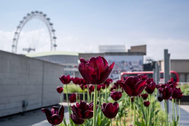 Фиолетовые тюльпаны в саде крыши национального театра на южном береге, Лондоне, с глазом Лондона на заднем плане стоковое изображение