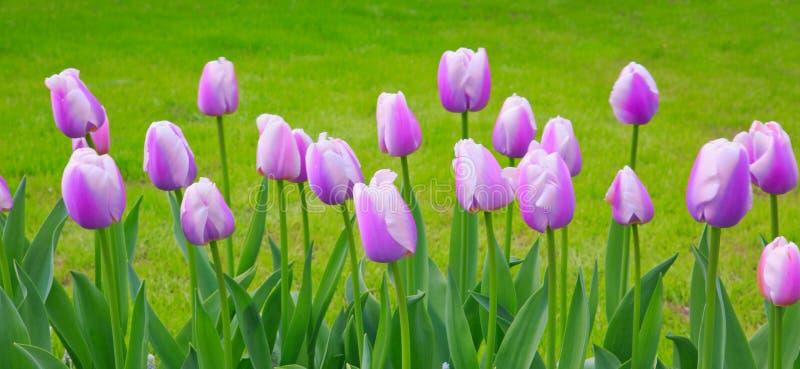 Фиолетовые тюльпаны изолированные на зеленом цвете Съемка макроса стоковое изображение