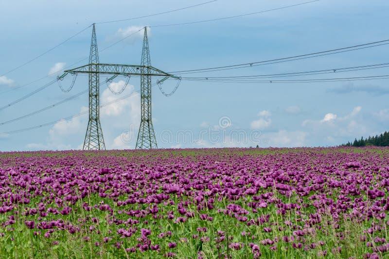 Фиолетовые цветения мака в поле стоковое фото
