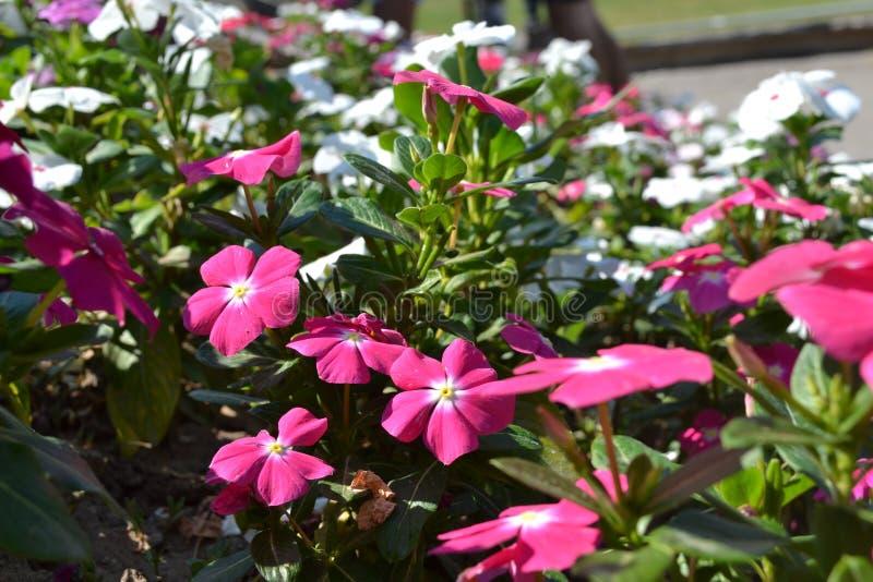 Фиолетовые цветки в парке стоковая фотография rf
