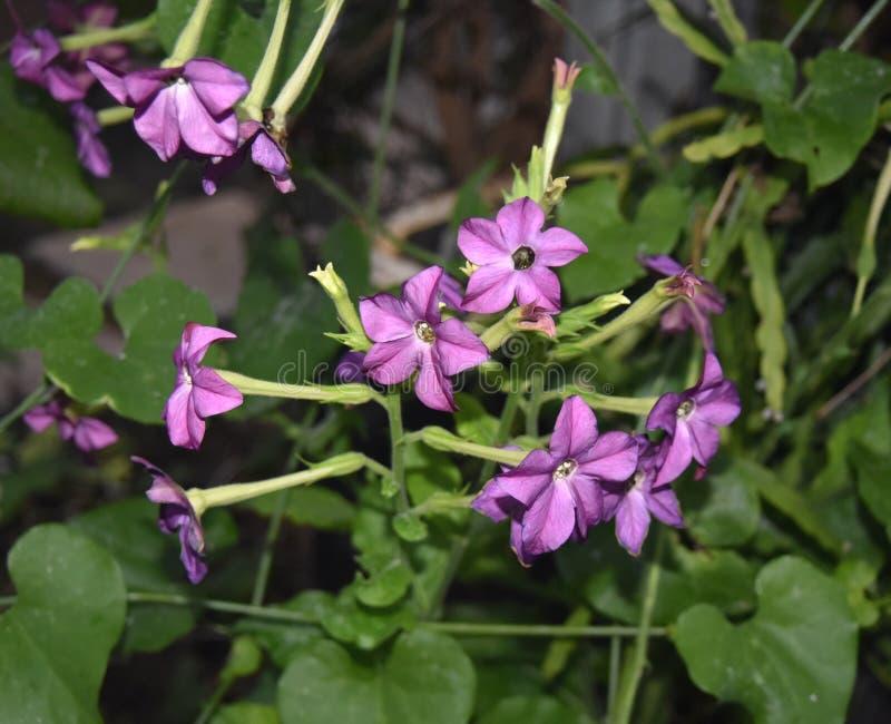 Фиолетовые цветки завода табака nicotiana с зеленым цветом выходят в сад стоковая фотография rf