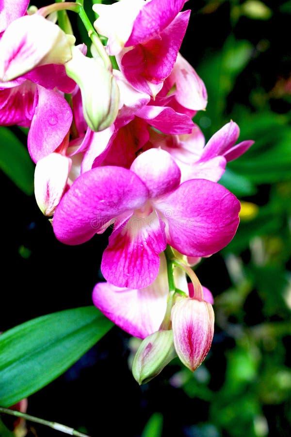 Фиолетовые цветки орхидеи, backgroud нерезкости стоковое фото