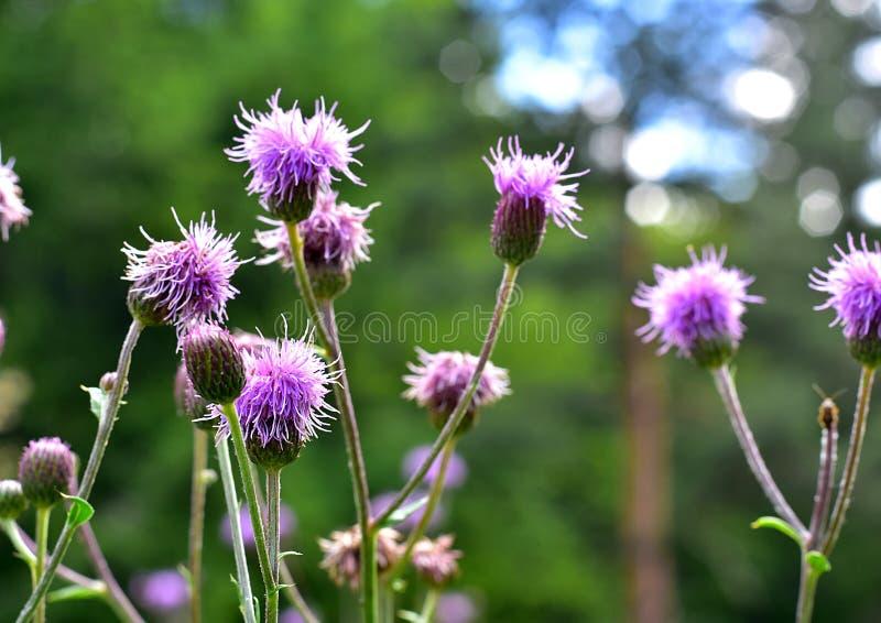 Download Фиолетовые цветки с естественной запачканной предпосылкой Стоковое Изображение - изображение: 104356647