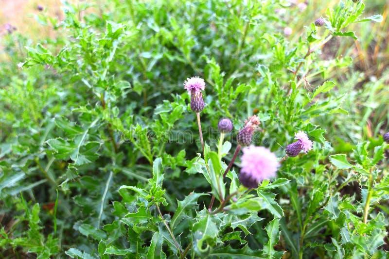 Фиолетовые цветк-колючки, thistle стоковые изображения rf