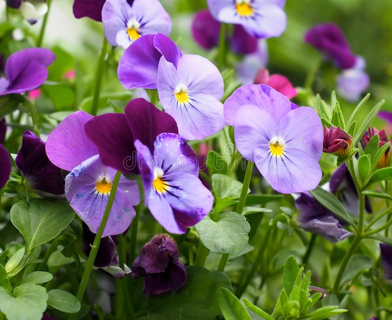Фиолетовые Pansies или альты в цветени стоковая фотография
