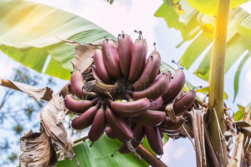фиолетовый банан стоковое изображение rf