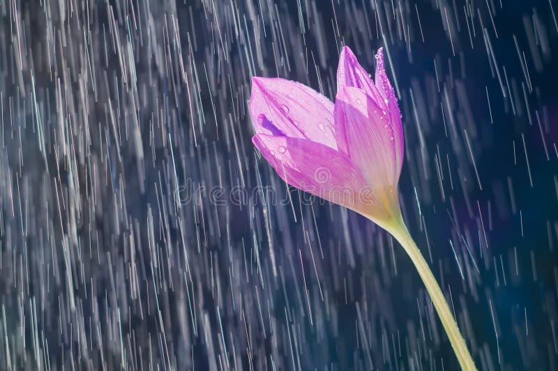 Фиолетовый безвременник цветка крокуса осени осенний на backgrou стоковое изображение