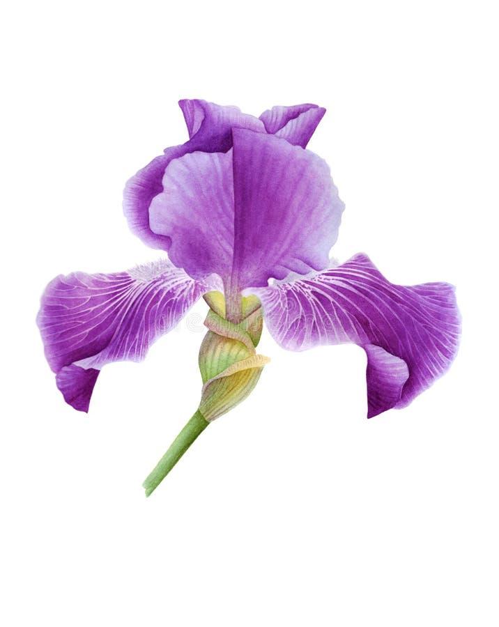 Фиолетовый бутон радужки стоковые изображения rf