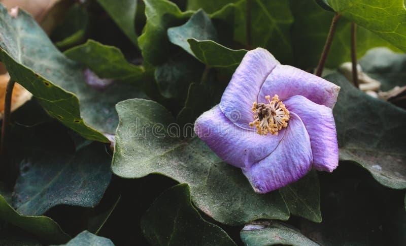 Фиолетовый геометрический цветок против зеленого цвета выходит в форму пентагона показывая геометрию в природе стоковые изображения