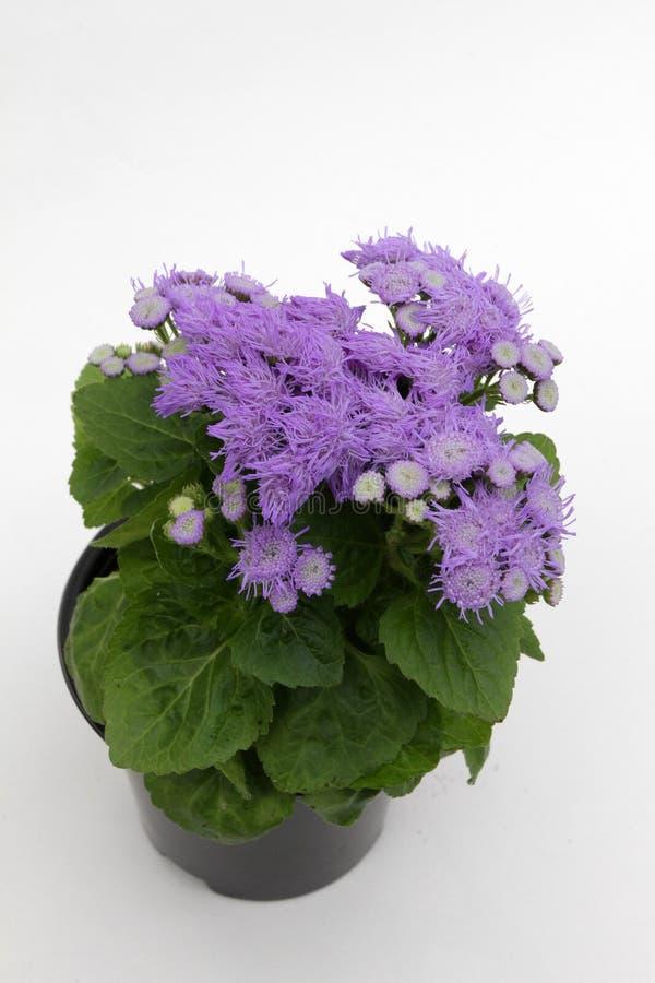 Фиолетовый голубой ageratum цветет в баке на белой предпосылке Цветочный узор Ageratum завода, синь цветет предпосылка стоковое фото rf