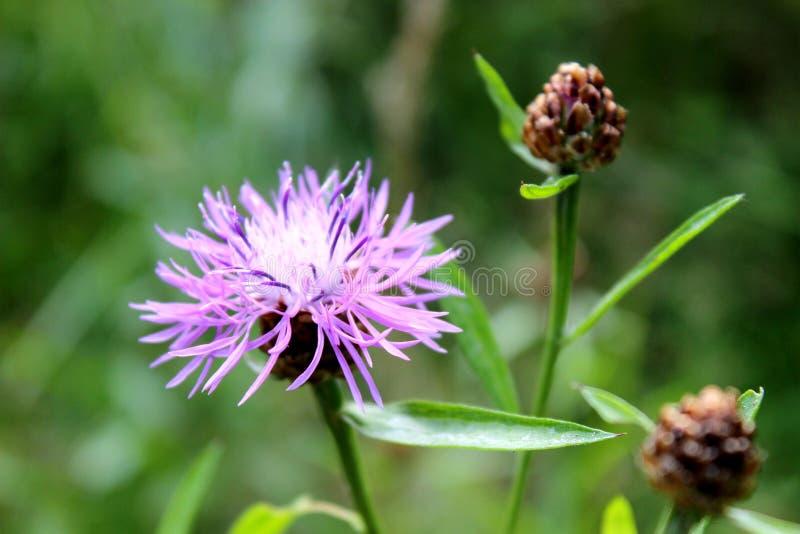 Фиолетовый конец-вверх цветка как предпосылка стоковая фотография