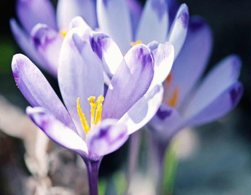 Фиолетовый крокус цветет весной луг, голубой фильтр стоковые фото