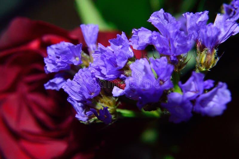 Фиолетовый крупный план Statice с предпосылкой красной розы стоковая фотография