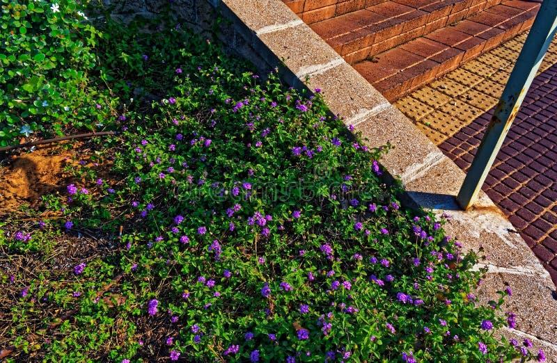 Фиолетовый куст цветка в городской среде стоковое фото rf